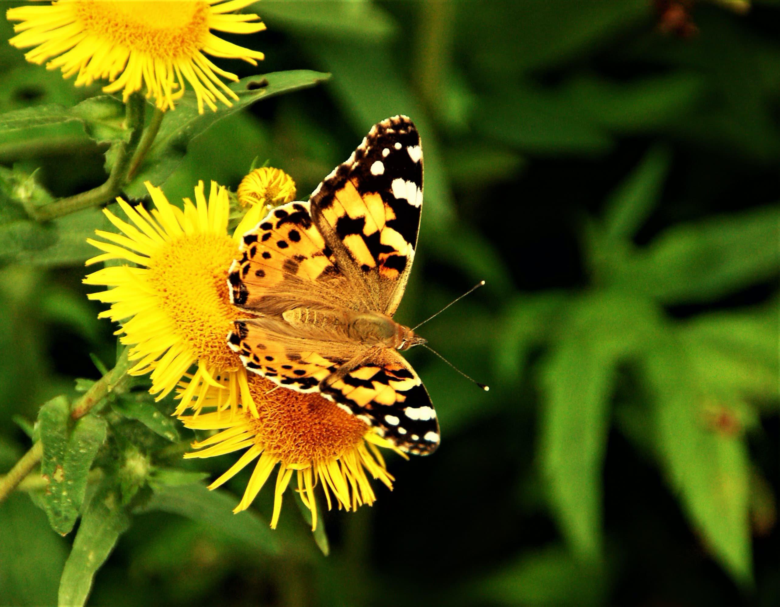 henk busker vlinder-pichi.jpg